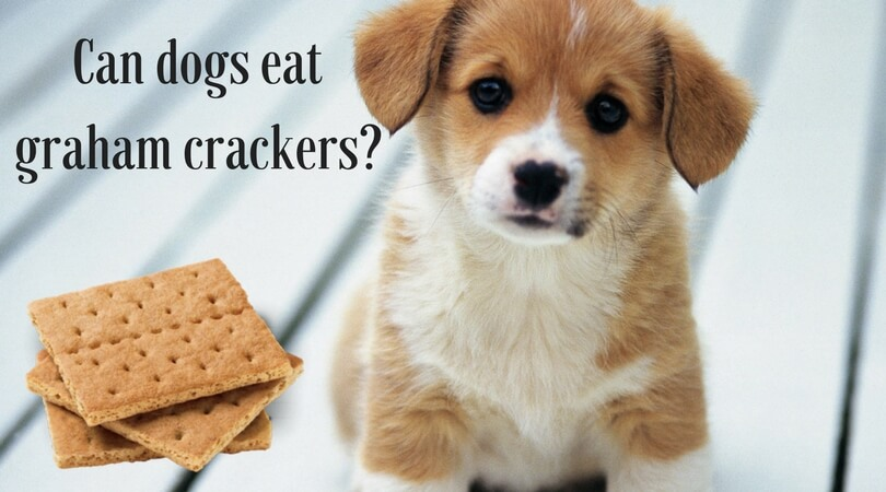 Photo of Can Dogs Eat Graham Crackers?: Is it Really Bad? Know the Truth