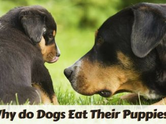 Add Why do Dogs Eat Their Puppies_