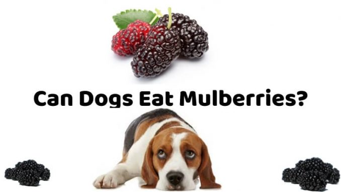 Can Dogs Eat Mulberries_