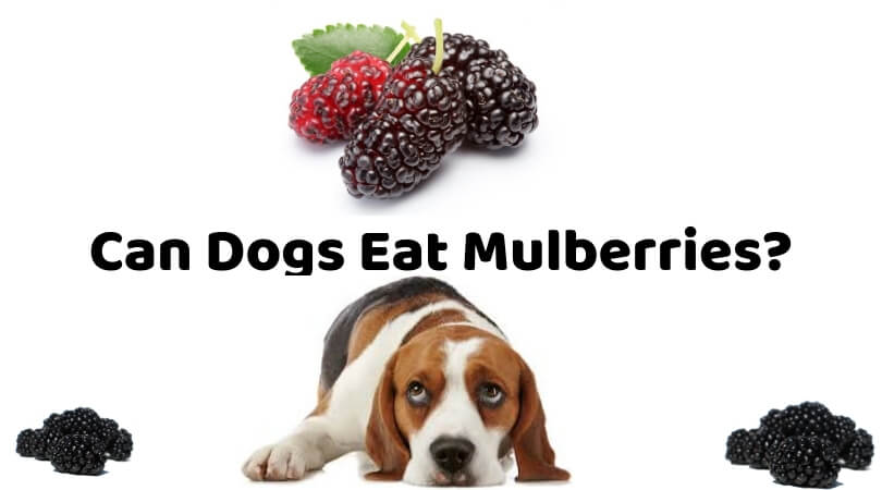 Photo of Can Dogs Eat Mulberries? – Truth Telling by Dog Experts