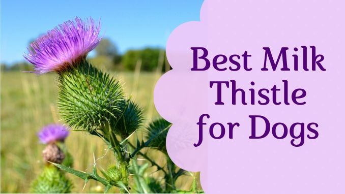 Best Milk Thistle for Dogs