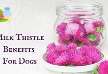 Photo of Milk Thistle Benefits for Dogs – Understand the Dosage and Uses