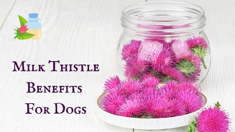 Milk Thistle Benefits for Dogs