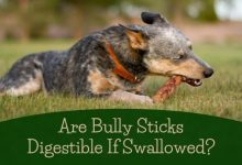 Photo of Are Bully Sticks Digestible if Swallowed – Is It Safe for Dogs?